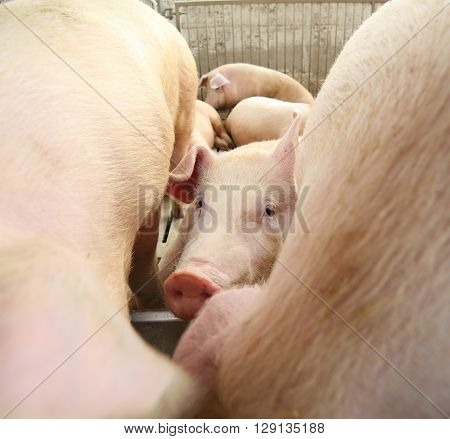 Piglet In The Sty In The Midst Of Other Pigs