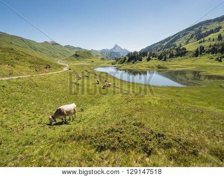 A view of cows standing near by the Kalbelesee lake surrounded by the Alpine mountains near village Schroecken in Bregenzerwald region Vorarlberg Austria