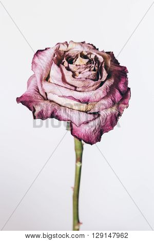 Dried rose on white background. Dried rose on white background
