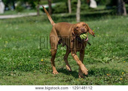 Hungarian Vizsla dog with ball playing on green grass. Selective focus
