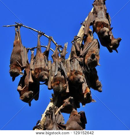 Fruit bats also named flying foxes. Big bats living in Australia.