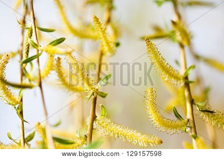 Blooming willow tree. Sallow, osier, salix branches macro view. spring nature landscape. soft focus