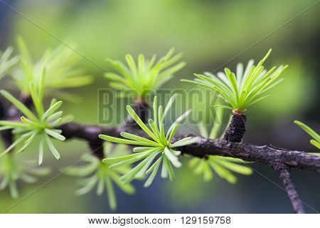 Fir tree branch with young green leaves. spruce needles macro view. soft background. shallow depth of field.