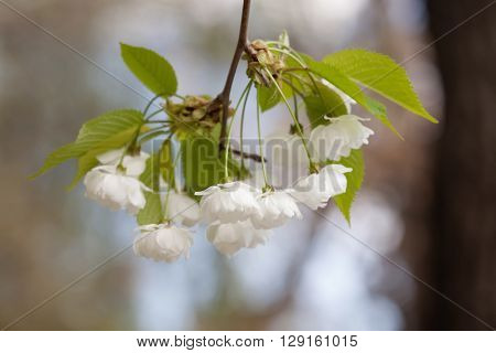 Crabapple tree flowers. Malus prunifolia, chinese apple branch with white flowers and green leaves.