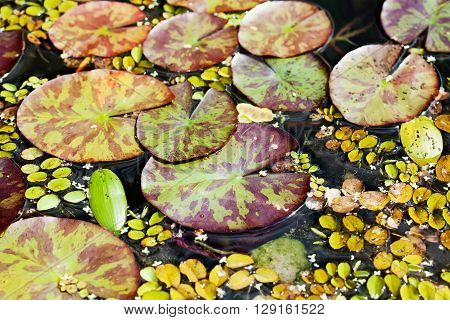 Water lilies textures and pattern. Different kinds and sizes aquatic plants in a pond. Top view. poster