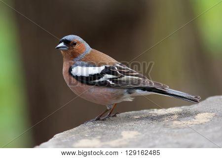 Common chaffinch bird on the stone. Fringilla coelebs, male.
