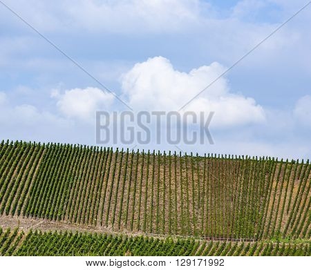 Vineyards At The Hills Of The River Moselle