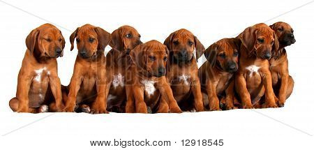 Group of rhodesian ridgeback puppies