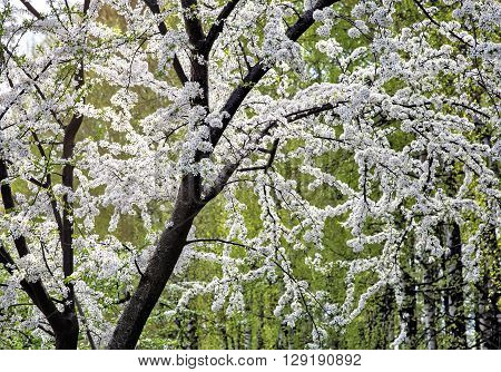 Part of the plum tree with branches profusely covered with white flowers. Presented on a background of trees with young green foliage.