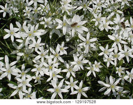 'Star of Bethlehem' flowers with two bees.