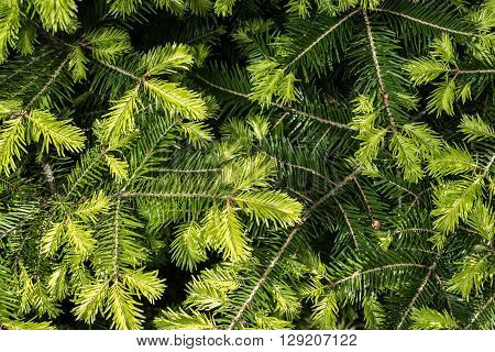 Background of young spruce branches, young sprout.