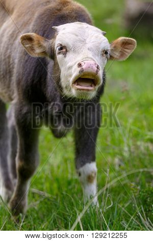 Young bull mooing in the pasture, calling other cows
