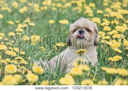 Cute happy shitzu dog puppy laying on fresh summer grass