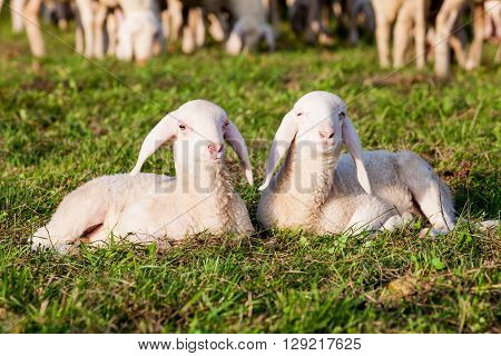 a couple of little brothers lambs on the green grass ** Note: Visible grain at 100%, best at smaller sizes