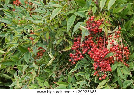 Selective focus of Sacred bamboo with red berries also known as heavenly bamboo, Nandina domestica