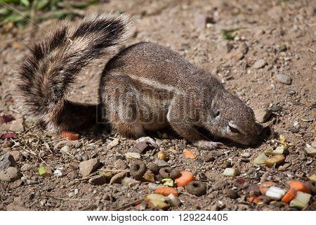 Cape ground squirrel (Xerus inauris). Wild life animal.