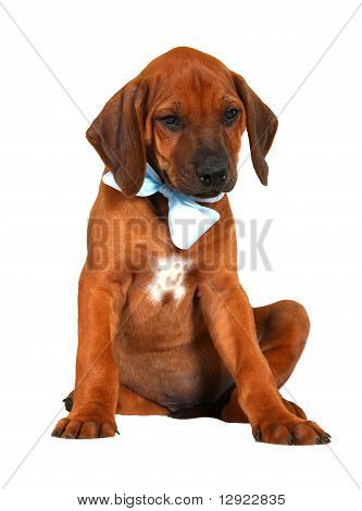 Rhodesian ridgeback puppy with blue ribbon