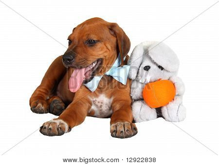 Rhodesian ridgeback puppy with toy
