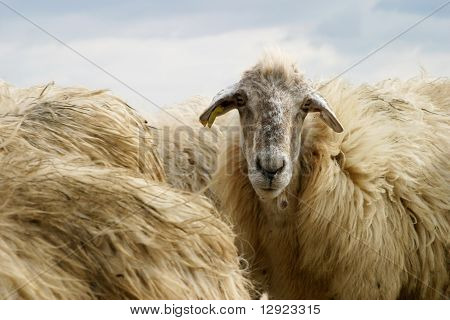 Typical Sicilian Sheep