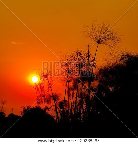 Papyrus are silhouetted against the setting sun in a red orange sky of the Okavango Delta Botswana.