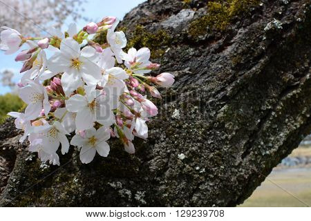 Cluster of spring sakura flower blossoms on a Japanese Yoshino cherry tree