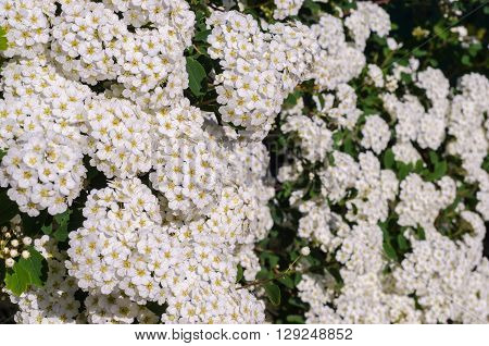 A beautiful flowering bush of white Spirea in the spring in May