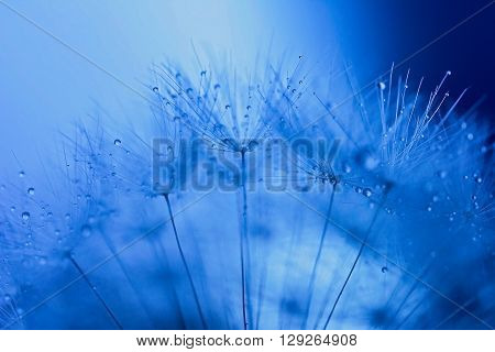 Abstract macro cyan photo of dandelion seeds with water drops.