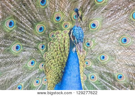 Pavo cristatus Indian peafowl, precious and flirtatious