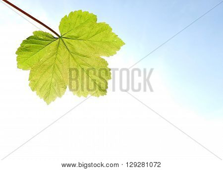 Single sycamore leaf with light shining through