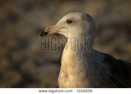 herring gull in sunset light on a beach poster