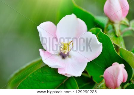 Branch Of A Blossoming Quince Of Oblong (cydonia Oblonga)