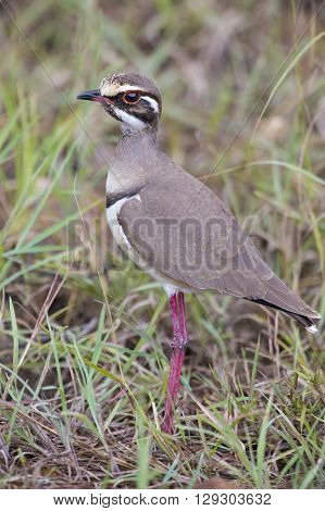Cute bronze-winged courser standing on green grass