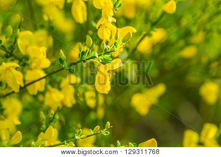 Blooming Broom Bush (cytisus Scoparius).