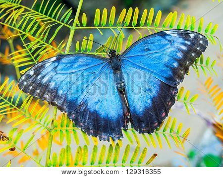 Blue Morpho butterfly sitting on the green leaf