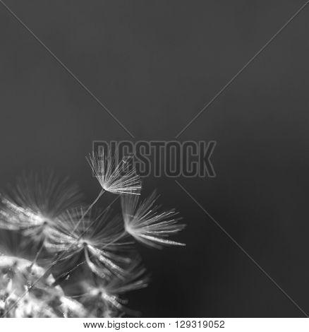 Dandelion Seeds In Close Up