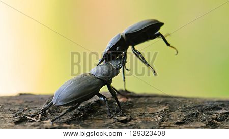 Two Lesser stag beetles (Dorcus parallelipipedus) are fighting.