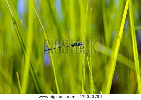 A close-up of the blue-tailed damselfly (Ischnura elegans).