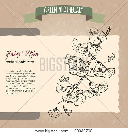 Ginkgo biloba sketch. Green apothecary series. Great for traditional medicine, gardening or cooking design.