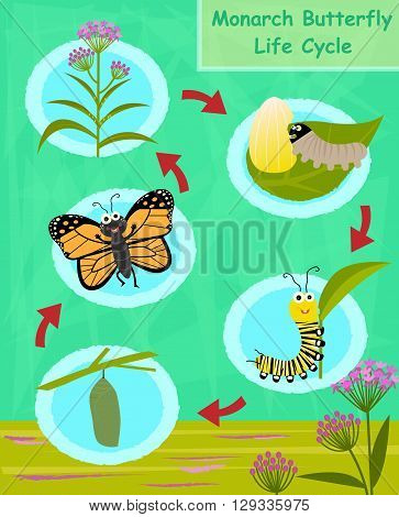 Colorful cartoon diagram of the monarch butterfly life cycle. Eps10