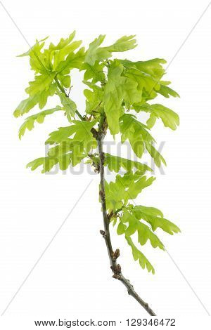 Oak tree branch in spring isolated on white