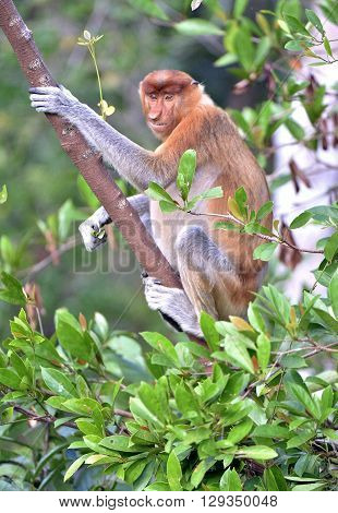 Male Proboscis Monkey On Borneo, Indonesia.