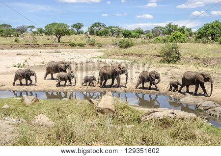 Family of elefants going to the waterhole in Tarangire national park Tanzania
