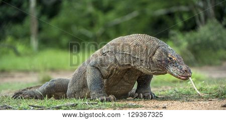 Komodo Dragon With The Flicked Out Tongue. The Komodo Dragon ( Varanus Komodoensis ) Is The Biggest