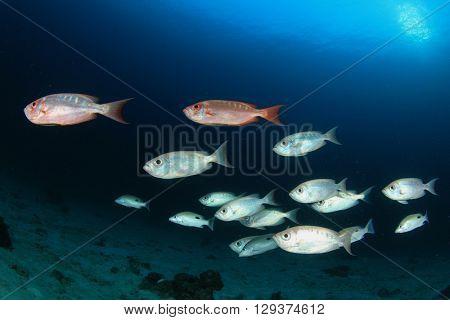 Fish school in ocean (Crescent-tailed Bigeyes)