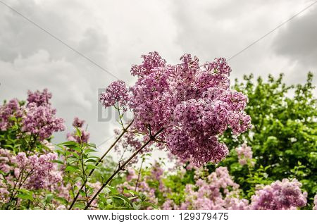 Pinkish purple lilacs with fresh spring blossoms