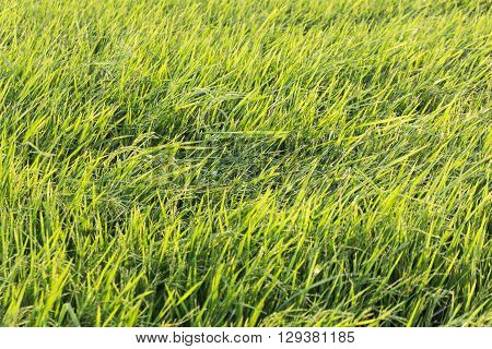 The Grasses in the rice field.and texture back