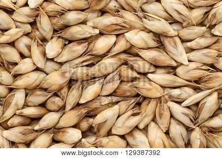 Macro closeup background texture of Organic Desi or Calcutta bamboo (Dendrocalamus strictus) seeds.