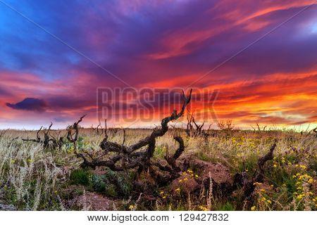 Amazing sunrise on old vineyard