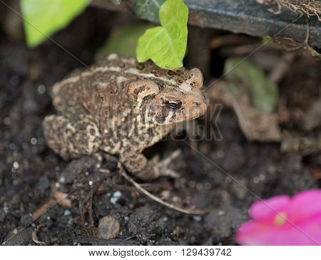 Eastern American Toad in Garden with Focus on Eye