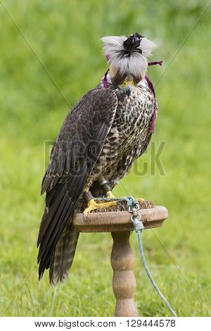 Wild young falcon with cap on the perches